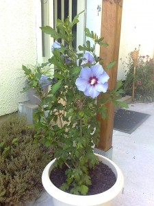 Althéa ou Hibiscus !!!! dans jardin photo0540-e1378288159841-225x300